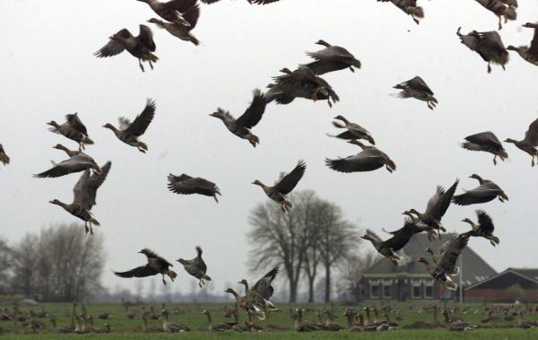 ganzenoverlast polder Schiphol, Nieuw Vennep, Lisse, Kaag, Abbenes, Sassenheim, Hoofddorp, Rozenburg, Aalsmeer