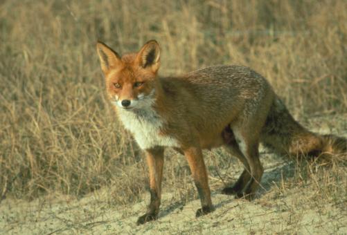 vossen en vossenoverlast Nieuw Vennep, Lisse, Hoofddorp, Sassenheim, Hillegom, Bennebroek, Heemstede, Noordwijk, Noordwijkerhout, Katwijk, Lisserbroek, Abbenes