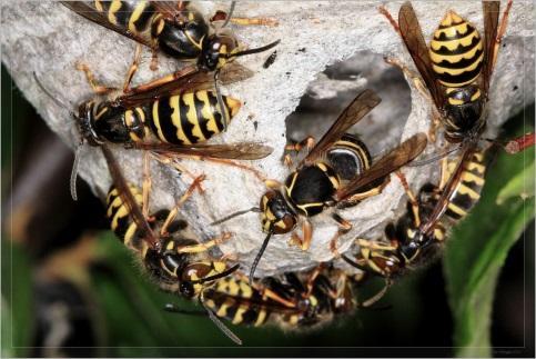 Wespenbestrijding